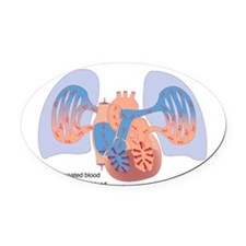Right-sided heart failure, artwork Oval Car Magnet