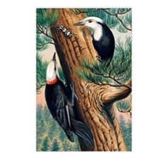 White-headed woodpeckers Postcards (Package of 8)