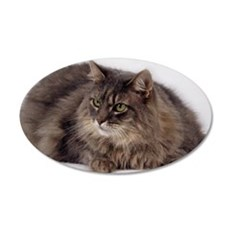 Maine Coon 35x21 Oval Wall Decal