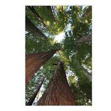 California Giant Redwoods Postcards (Package of 8)