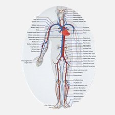 Circulatory System Ornament (Oval)