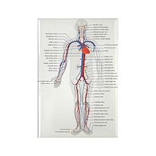 Circulatory System Magnets