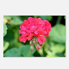Geranium flower (red) in  Postcards (Package of 8)