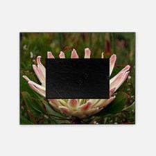 Protea flower in bloom Picture Frame