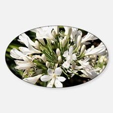 Agapanthus (white) flower in bloom Decal