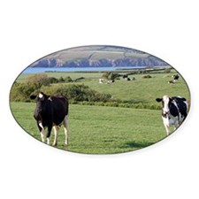 Pembrokeshire cows, Wales, United K Decal