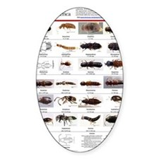 Staphylinidae Poster Stickers