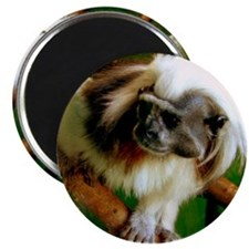 """cotton-topped tamarin 2.25"""" Magnet (100 pack)"""