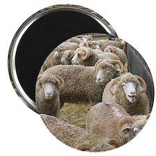 Close up Horned Dorsets at fenceline Magnet
