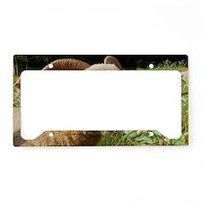 Contented Horned Dorset Sheep License Plate Holder