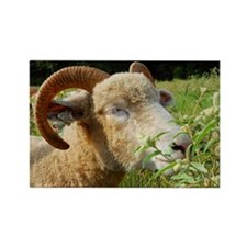Contented Horned Dorset Sheep Rectangle Magnet