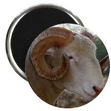 Horned Dorset Ram Headstudy Magnet