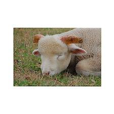 Napping ram lamb Rectangle Magnet