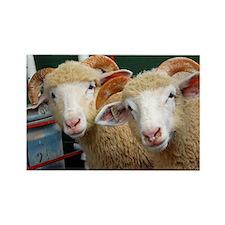Inquisitive ewe lambs Large Rectangle Magnet