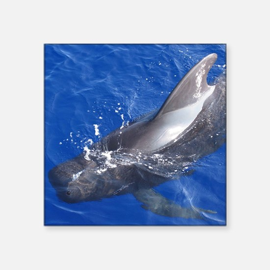 "Pilot whale photo Square Sticker 3"" x 3"""