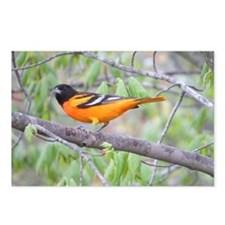 Northern Oriole Postcards (Package of 8)