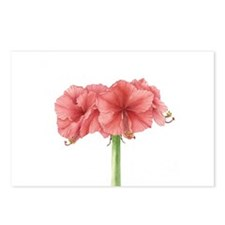 Amaryllis Postcards (Package Of 8)