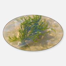 Hampton Seaweed Decal