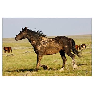 Feral Horse (Equus caballus) wild horse running in Poster