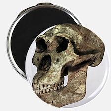Australopithecus boisei skull - Magnets