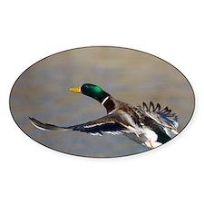 duck in flight Decal