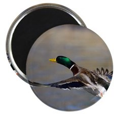 duck in flight Magnet