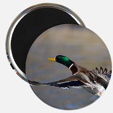 duck in flight Magnet