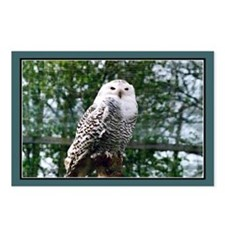 ...Snowy Owl... Postcards (Package of 8)