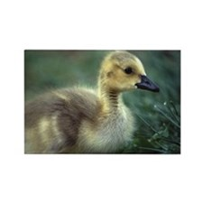 baby goose Rectangle Magnet