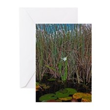 Everglades Lily Greeting Cards