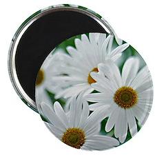 Daisies in Bloom Magnet