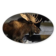 moose splashing in the water Decal
