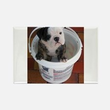 English bulldog puppy in a bucket - Detail Magnets