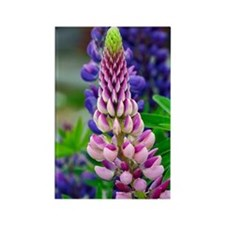 Pink Lupin Rectangle Magnet
