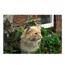 Maine Coon Cat Kato Postcards (Package of 8)