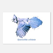 Cyanocitta cristata Postcards (Package of 8)