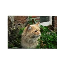 Maine Coon Cat Kato Rectangle Magnet