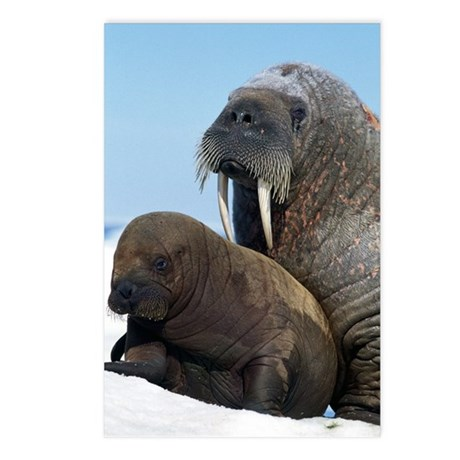 Walrus Postcards (Package of 8)