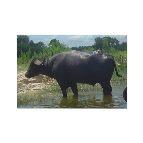 water buffalo Rectangle Magnet (100 pack)