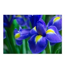 Blue iris Postcards (Package of 8)