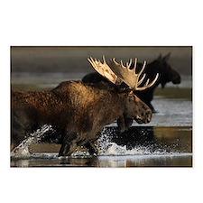 moose splashing in the wa Postcards (Package of 8)