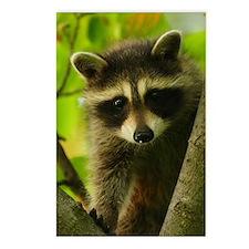 raccoon Postcards (Package of 8)