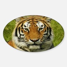 India tiger Peace and calm Decal