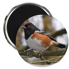 Spotted Towhee 2.25