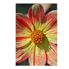 Red and yellow dahlia flo Postcards (Package of 8)