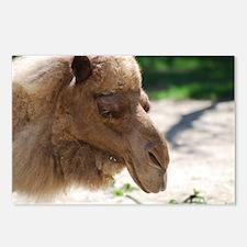 Arabian Camel Postcards (Package of 8)