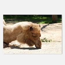 Resting Camel Postcards (Package of 8)