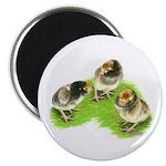 Brown Brabanter Chicks Magnet