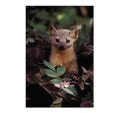 Marten Postcards (Package of 8)