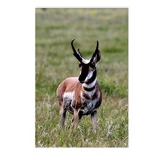 Pronghorn by in Meadow Postcards (Package of 8)